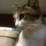 猫の長引く咳の正体・気管虚脱とは