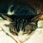 気管虚脱の猫の咳は悪化の一途