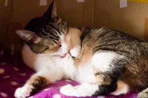 気管虚脱の猫の定期血液検査にかかる費用と時間